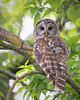 RSF3681 (jacksonfrontierphotography) Tags: barred owl missouri