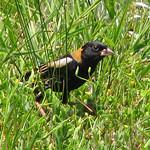 Bobolink - foraging through grasses & clover thumbnail