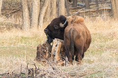 Bison bull uses a stump as a scratching post