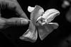 Foto-Arô Ribeiro-4378 (Arô Ribeiro) Tags: blackwhitephotos photography laphotographie pb bw blackandwhite nikond7000 thebestofnikon nikon art arte fineart flores flowers brazil arôribeiro