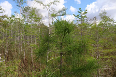 Everglades National Park, Florida (lotosleo) Tags: baldcypress taxodiumdistichuml evergladesnationalpark florida fl nationalpark everglades nature plant marsh swamp spring landscape forest tree reflection эверглейдс флорида