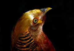 _DSC0389 Golden Pheasant (tsuping.liu) Tags: outdoor organicpatttern blackbackground bright birds bird closeup depthoffield depth darkbackground deptoffield ecology ecotour feeling flickr golden image imagination its lighting skylight moment mood macro memory nature natureselegantshots naturesfinest natures nationalpark nationalgeographic natur pattern photographt passion recalling serene texture trekking touching theperfectphotographer text purity visioionoutdoor zooming zoomin amazing coth