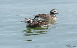 Long-tailed Ducks (female)