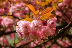 Morning sun (jmiller35) Tags: cherryblossom trees flowers pinkflowers blossom sunlight nature canon naturalbeauty ngc