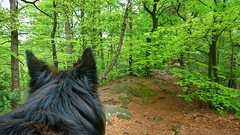 Totoro in the forest (Jos Mecklenfeld) Tags: totoro dutchshepherddog dutchshepherd hollandseherdershond hollandseherder shepherd shepherddog herdershond herder schäferhund dog hund hond forest wald bos nature natur natuur hiking wandern wandelen dörentherklippen teutoburgerwald nordrheinwestfalen germany deutschland duitsland sonyxperiaz5 xperia