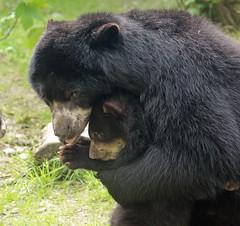 spectacled bear Duisburg BB2A4796 (j.a.kok) Tags: bear beer brilbeer spectacledbear ursus animal predator mammal zoogdier dier bearcub cub babybear moederenkind motherandchild duisburg