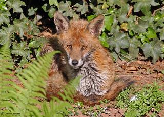 DSP02174 - Red Fox  (Vulpes vulpes)