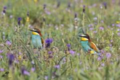Merops apiaster (nonnogrizzly) Tags: meropsapiaster gruccione aves uccelli birds natura fauna colore fiori flora
