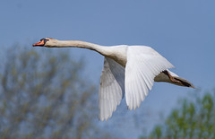 Mute Swan (tresed47) Tags: 2018 201805may 20180502johnheinzbirds birds canon7d content folder johnheinznwr may muteswan pennsylvania peterscamera petersphotos philadelphia places season spring swan takenby us ngc