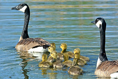 Happy Mother's Day (NaturalLight) Tags: canadagoose goose family goslings reflections mothersday chisholmcreekpark wichita kansas