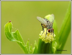 baby fly on flower (todd5524) Tags: fly nature insect macro close photography photoshop outdoors small tiny amazing