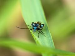 Oedemera nobilis (David Bertholle) Tags: oedemera nobilis blue cuivre insect nature macro closeup nikon d7200 bokeh dof