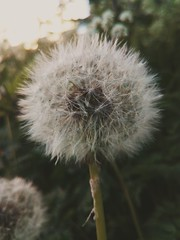 Make a wish... (Pilar Palomo) Tags: dandelion dientedeleón flowers flor flores flower green verde nature naturaleza natural wish makeawish spring primavera