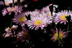 Macro (ameliapardo) Tags: macro flores macrodeflores floresyplantas jardines naturaleza fujixt1 leicar60 sevilla