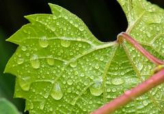 Grape Leaf (mhawkins) Tags: chatfieldstatepark
