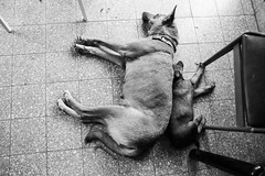 Afternoon Nap (mad artichoke) Tags: canon 5d mark iv 24mm dogs pets animals canine puppy mother daughter blackandwhite bw nap sleep