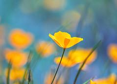 California Poppy Aqua Bokeh (optimalfocusphotography) Tags: northerncalifornia california spring landscape wildflowers amadorcounty nature poppies telephoto amador bokeh usa