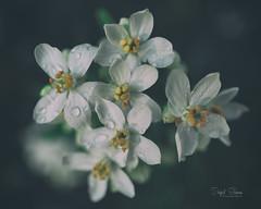 Raindrops (Inky-NL) Tags: ingridsiemons©2018 flowers bloemen blossem rain raindrops vintage garden bokeh petals fuji fujixt2 fuji16mmf14 soft