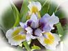 Our garden . Iris (Uhlenhorst) Tags: 2018 germany deutschland bavaria bayern plants pflanzen flowers blumen blossoms blüten awesomeblossoms