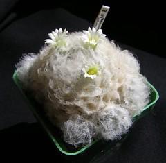 Mammillaria plumosa (Alex_CL) Tags: mammillaria plumosa