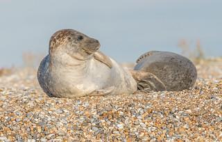 JWL7896  Harbour Seals..
