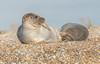JWL7896  Harbour Seals.. (jefflack Wildlife&Nature) Tags: seal seashore sea seals harbours harbourseal commonseal mammal countryside coastline coast coastal estuaries estuary blakeney norfolk nature