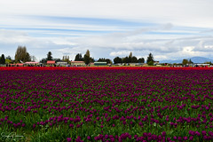 Skagit Valley Tulip Festival (Roozengaarde) (SonjaPetersonPh♡tography) Tags: laconner mountvernon tulips tulip tulipfields tulipfestival roozengaarde roozengaardeskagitvalleytulipfestival nikon nikond5300 washington washingtonstate stateofwashington skagitcounty skagitvalley skagitvalleytulipfestival flowers festival plants