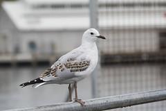 Silver Gull juv-1st w (Baractus) Tags: silver gull john oates hobart tasmania australia inala nature tours