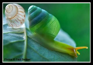 Carnivorous snail (Edentulina sp.)