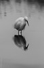 Garceta comun(Egretta garzetta) (Elprimodeheman) Tags: garcetacomunegrettagarzetta bn fotografia reflejos retrato aves lugares ciconiiformes hide animales marjalalmenara vogel bird birding birdwatching