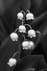 Lily of the Valley II (RaminN) Tags: convallariamajalis ourladystears lilyofthevalley marystears flower plant organic patterns blackandwhite bw flowers macro
