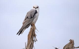 Black-shouldered Kite