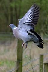A trip to Askham Bog, York, UK (Powderpuff GP) Tags: wildlife nature askhambog wings flight pigeon woodpigeon