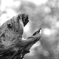 ... don`t be afraid ... (ewaldmario) Tags: wien österreich ewaldmario fisch nikon closeup monochrome blackandwhite wood pieceofwood monster dangerous fish dontbeafraid vienna macro fearless focus bokeh d800 micronikkor composition crop animal mouth lookalike