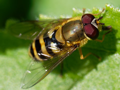 Hover Fly (martin_swatton) Tags: hover fly insect bug fareham hampshire uk olympus omd em1 mkii 60mm 28 macro