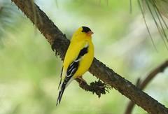 American goldfinch bird male (NaturewithMar) Tags: american goldfinch bird male closeup nature park wisconsin 2018 spring
