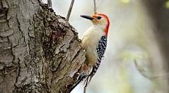 Red-bellied woodpecker. (Dan A. Cetinic.) Tags: sony birds