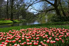 Keukenhof (annalisabianchetti) Tags: giardino garden parco park travel nature natura spring springtime primavera tulips tulipani flowers fiori flowering trees alberi beauty