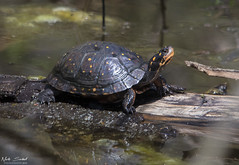 Spotted Turtle (Nick Scobel) Tags: spotted turtle clemmys guttata michigan spring endangered species
