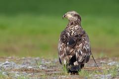 Juvenile bald eagle (Haliaeetus leucocephalus) (Josh Beasley) Tags: baldeagle haliaeetusleucocephalus bird tamron 150600 g2 nikon d750 avian animal wildlife