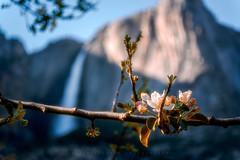 Yosemite Falls (Yaecker Photography) Tags: yosemitenationalpark park yosemitevalley california unitedstates us waterfall waterfalls waterporn water waterscape spring
