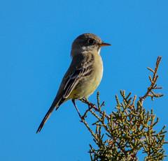 Hutton's Vireo ? (mharoldsewell) Tags: 2017 arizona d7100 huttonsvireo nikon november patagonialakestatepark vireohuttoni bird birds mharoldsewell mikesewell photos
