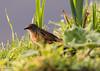 Heckenbraunelle im Morgentau am Aasee (Fotännie) Tags: aasee frühling heckenbraunelle morgentau vogel