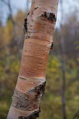 Birch walk 3 (OzzRod (on the road again)) Tags: pentax k1 hdpentaxdfa2470mmf28 trees birch closeup lakemývatn iceland