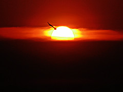 Black Beauty's Final Flight Of The Day.... (sureba67) Tags: photography nature sundown sunset dusk sonydsch200 sureba67 babusuresh niftybaba birdinflight