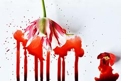 Cut Flowers (Apionid) Tags: tulip japanesequince red blood splatter white flower stilllife werehere hereios nikond7000