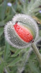 Poppy head. (merseymouse) Tags: poppy plants gardens flowers horticulture