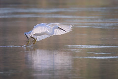 Strafing (gseloff) Tags: snowyegret bird flight bif feeding nature wildlife animal water bayou armandbayou pasadena texas kayak gseloff
