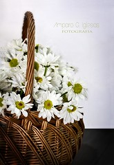 La vendedora de margaritas - Amparo García Iglesias (Amparo Garcia Iglesias) Tags: margaritas flores blanco white cesta campo fotos photos amparo garcia iglesias daisies canasto