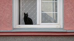 Cat (Dragan*) Tags: cat animal pet black window glass reflection curtain pattern wall texture house pink outdoor